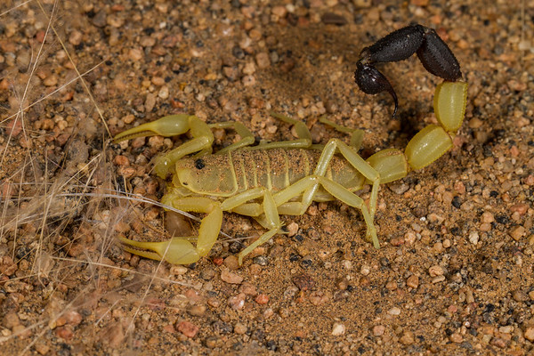 unidentified scorpion. Messum Crater, Erongo Namibia