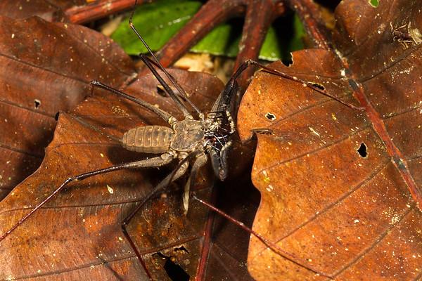 tailess whip scorpion (Amblypigidae). Gareno Amazon, Napo Ecuador