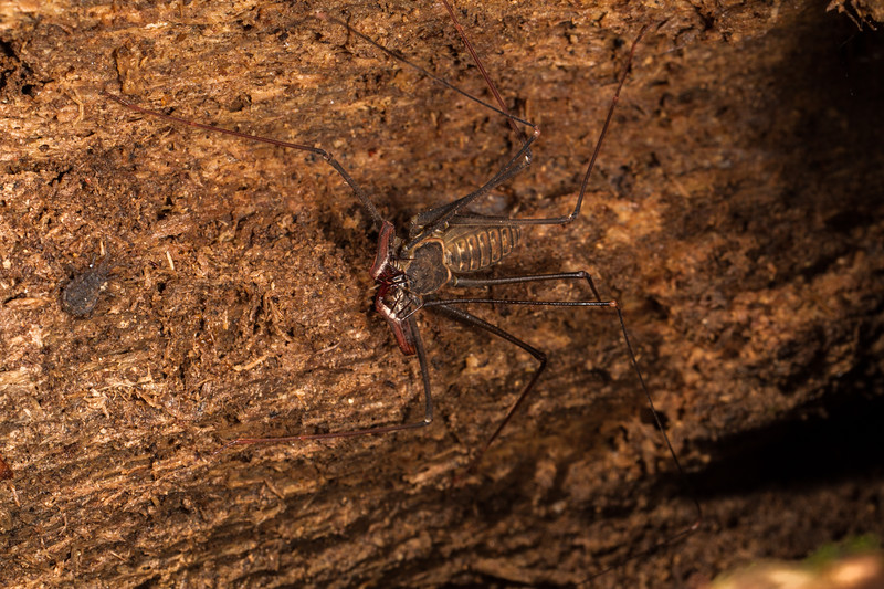 whipspider, (Amblypigid) and a flat bark bug off to the left (Flatidae). Bates trail. Shiripuno, Orellana Ecuador