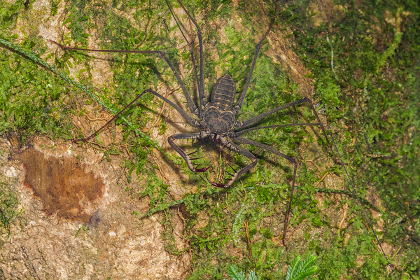 tailless whip scorpion, (Amblypigida). Gareno Amazon, Napo, Ecuador
