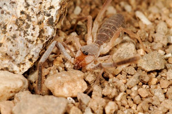 windscorpion. (Ammotrechidae - Solpugida). Tucson, Pima Co., Arizona USA