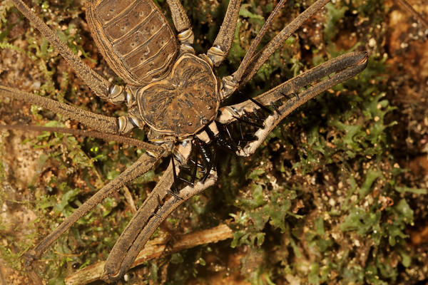 tailless whip scorpion, (Amblypigida). Gareno Amazon, Napo, Ecuador