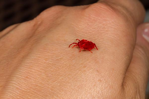 giant red velvet mite, Dinothrombium magnificum (Thrombidiidae), wandering after Sonoran Desert summer monsoon rains. On hand for scale. Tucson, Pima Co., Arizona USA