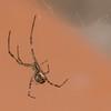 brown widow, <i>Lactrodectus geometricus</i> (Theridiidae). Tucson Mtns, Pima Co., Arizona USA