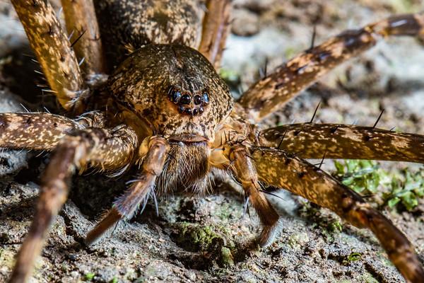 fishing spider. Nyasoso, Southwest Region, Cameroon Africa