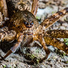 fishing spider. Nyasoso, Southwest Region, Cameroon Africa