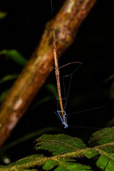 ogre-faced netcasting spider, Deinopis sp. (Deinopidae). Bates loop, Shiripuno, Orellana Ecuador