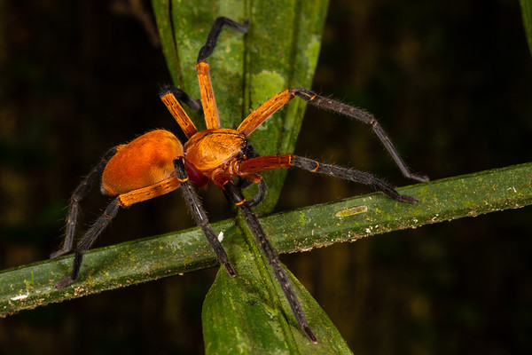 huntsman spider, Salada sp.  (Sparassidae). Bates trail, Shiripuno, Orellana Ecuador