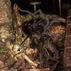 female wandering spider (Ctenidae). EO Wilson trail, Shiripuno, Orellana Ecuador