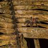 pink-toed tarantula, <i>Avicularia avicularia</i> (Theraphosidae). EO Wilson trail, Shiripuno, Orellana Ecuador