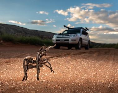 Thou shall not pass: Tarantula vs $Runner. Vermilion Cliff National Monument, Coconino Co. Arizona USA