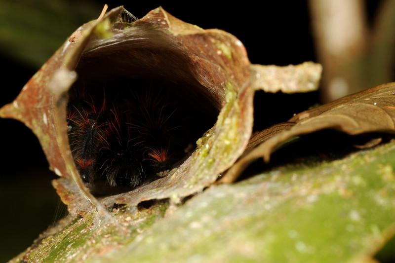 pink-toed tarantula, Avicularia avicularia (Therapsidae) in rolled leaf house. Gareno Amazon, Napo, Ecuador