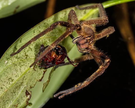 wandering spider, Phoneutria fera (Ctenidae). Colibri trail, Shiripuno, Orellana Ecuador