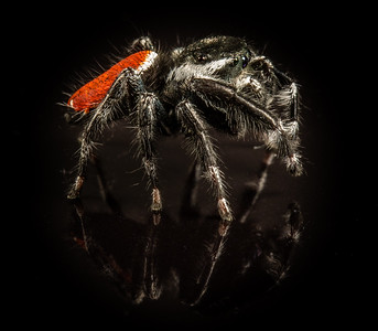 red-backed jumping spider, Phidippus johnsoni group (Salticidae). Tucson, Pima County Arizona