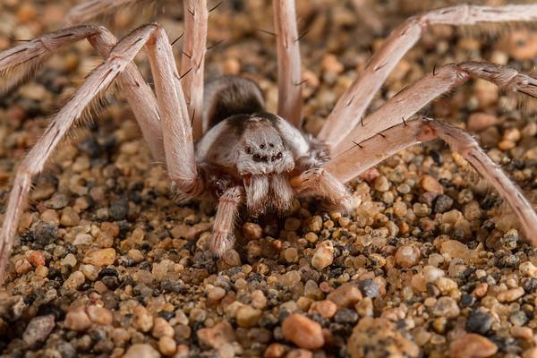 dancing white lady spider, Leucorchestris arenicola (Sparassidae). Messum Crater, Erongo Namibia