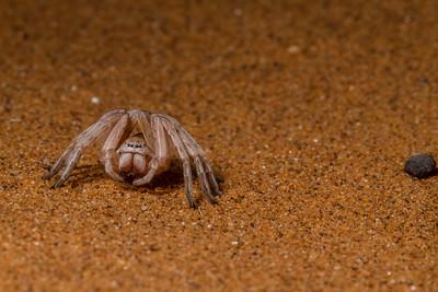 dancing white lady spider, Leucorchestris arenicola (Sparassidae). Gobabeb, Erongo Namibia