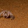 dancing white lady spider, <i>Leucorchestris arenicola</i> (Sparassidae). Gobabeb, Erongo Namibia