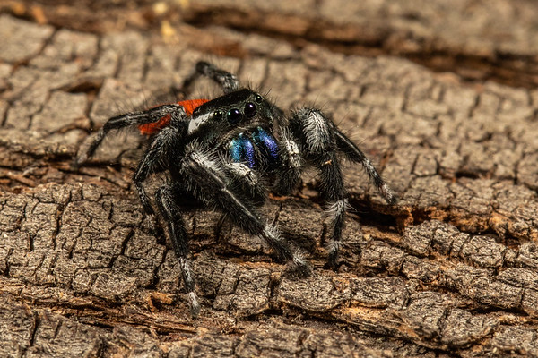 Phidippus johnsoni group_23Sep2018_003