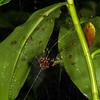 social spiders, <i>Anelosimus cf. eximus</i> (Theridiidae). Wallace trail, Shiripuno, Orellana Ecuador