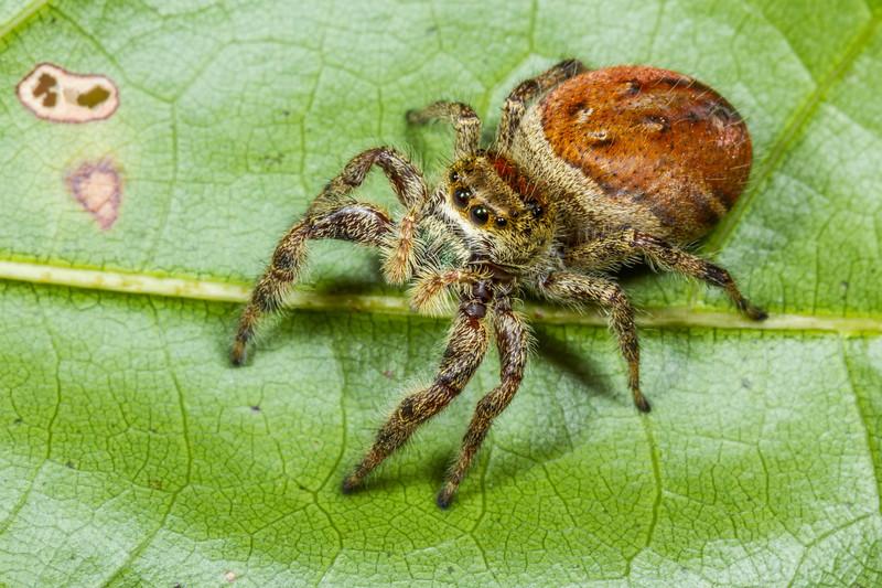jumping spider, Phidippus sp. (Salticidae). Croft S.P., Spartanburg, South Carolina USA