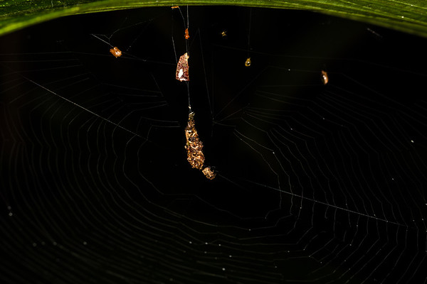 spider and web. Colibri to Bates loop, Shiripuno, Orellana Ecuador