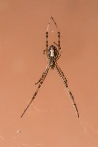brown widow, Lactrodectus geometricus (Theridiidae). Tucson Mtns, Pima Co., Arizona USA