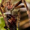 wandering spider, <i>Phoneutria fera</i> (Ctenidae). Colibri trail, Shiripuno, Orellana Ecuador