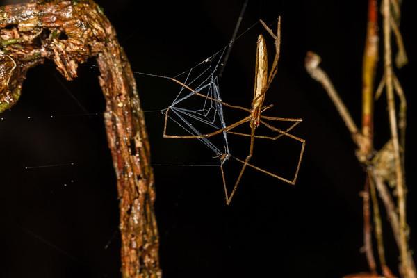 ogre-faced netcasting spider, Deinopis sp. (Deinopidae). Colibri trail, Shiripuno, Orellana Ecuador