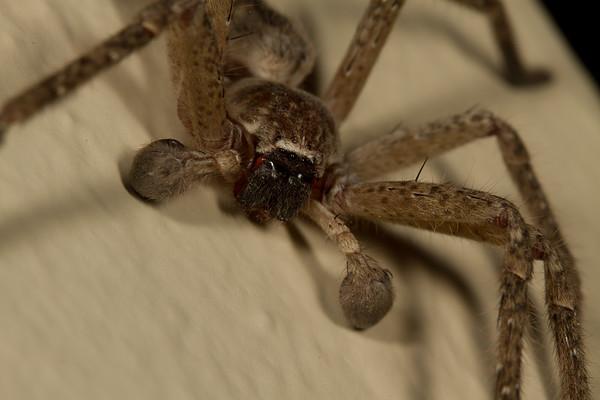 male giant crab spider, <i>Olios giganteus</i> (Hetropodidae (Sparassidae)). Tucson, Pima Co., Arizona USA