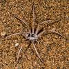 dancing white lady spider, <i>Leucorchestris arenicola</i> (Sparassidae). Messum Crater, Erongo Namibia