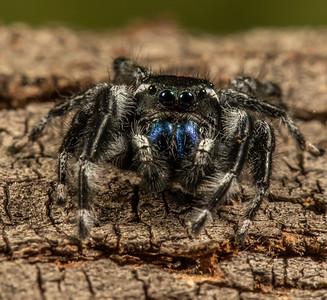 Phidippus johnsoni group_23Sep2018_007