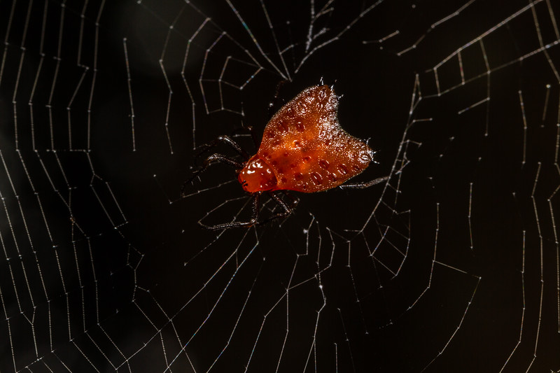 Micrathena clypeata (Araneidae)EO Wilson trail, Shiripuno, Orellana Ecuador