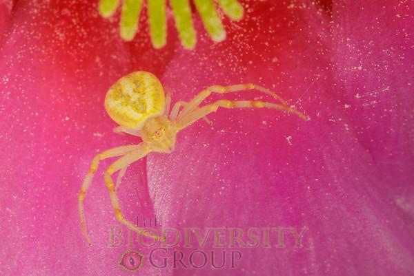 Crab Spider in Strawberry Hedgehog Cactus