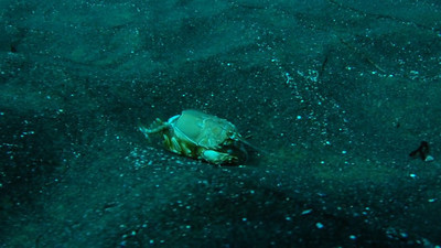 © Joseph W. Dougherty.  All rights reserved.   38 second video clip.   Exoskeleton of a large Spiny Mole Crab, Blepharipoda occidentalis, rolling across the sandy bottom.   Note the spines on the cephalad portion of the carapace and the two large front claws. This species is very distinct from the common Pacific Mole Crab, Emerita analoga, seen in retreating waves on many Southern California beaches.  The Spiny Mole Crab is a small predator, dining primarily on other sand crabs, while the filter-feeding Pacific Mole Crab has a smooth carapace and lacks claws.  The Sealion Spot;  Anacapa Island, Channel Islands National Park and Marine Sanctuary;  Santa Barbara Co., CA.