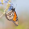 Monarch in pastels