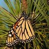 Sunbathing monarch