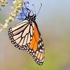Hanging monarch