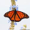 Monarch in a pale sky