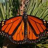 Wings of monarch