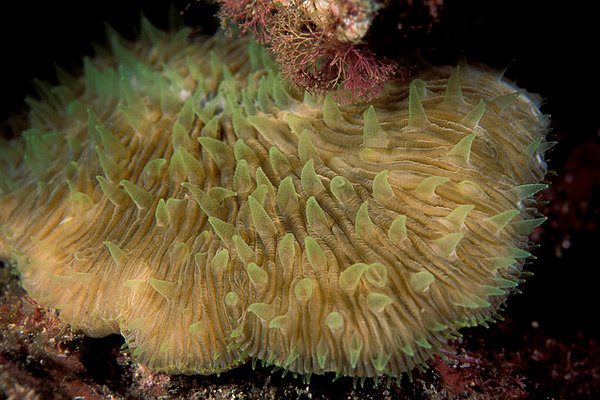 mushroom or razor coral, Fungia scutaria,<br /> with polyps extended at night,<br /> Big Island of Hawaii ( Central Pacific Ocean )
