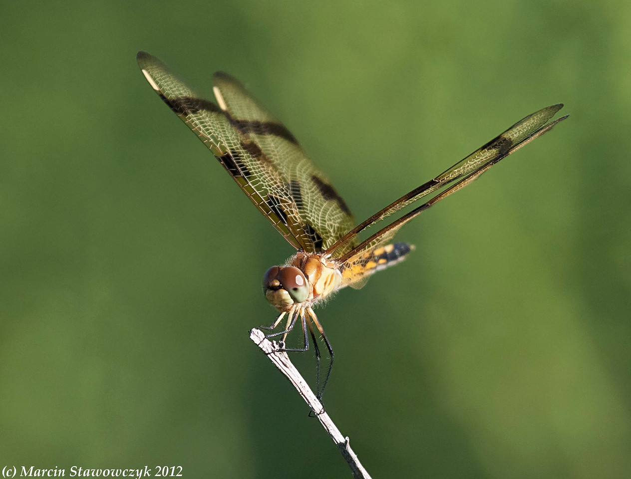 Dragonfly from the front