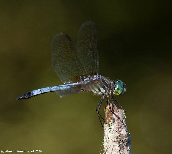 Posing dragonfly