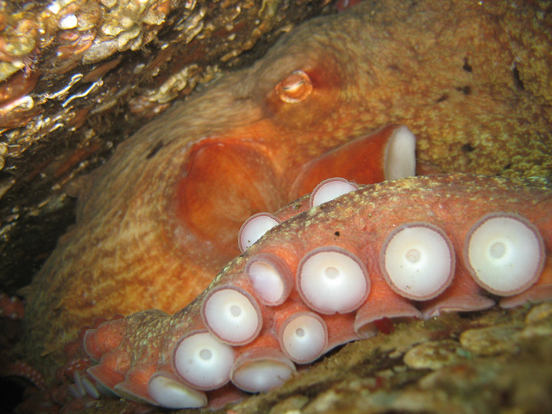Enteroctopus dofleini, Giant Pacific Octopus