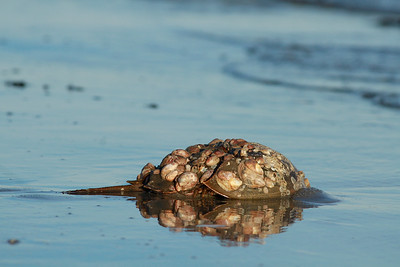 Elder Horseshoe Crab