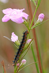Buckeye caterpillar eating Gerardia purpurea