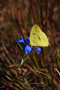 Cloudless Sulphur on Pine Barrens Gentian