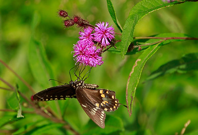 Spicebush Swallowtail on Ironweed
