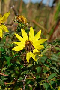 Butterflies on Giant Sunflower
