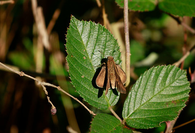 Skipper species
