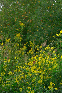 Seaside Goldenrod with guest